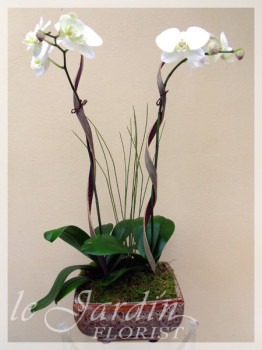 Imperial Orchid Plant Arrangement