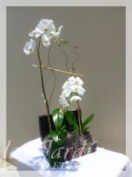 Double Stem Orchids Arrangement in Le Jardin Treasure Chest Container