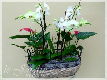 Premium Orchid Planter - Orchids and Live Plants by Le Jardin Florist
